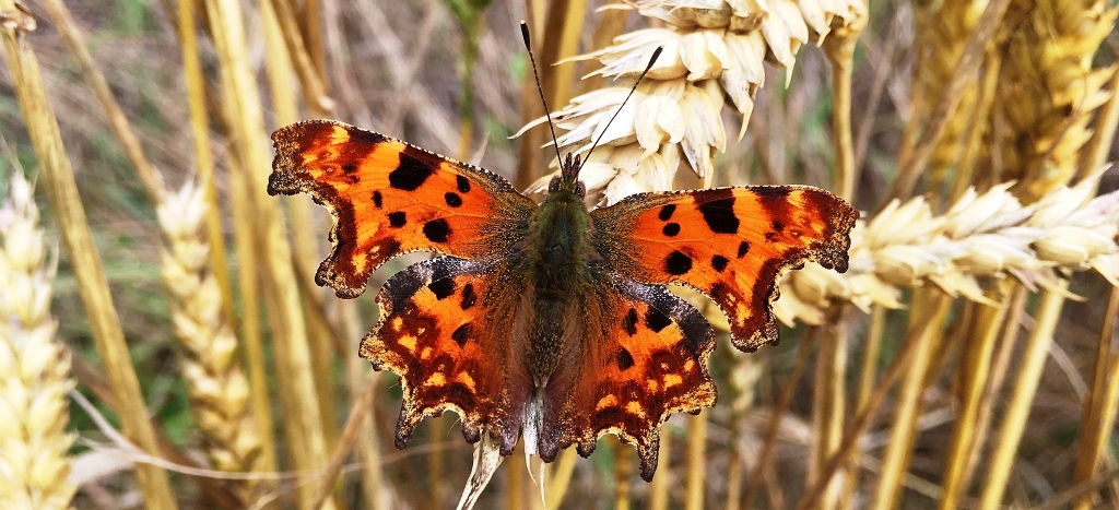 BKV Calendar July - Comma Butterfly courtesy of Di Baker
